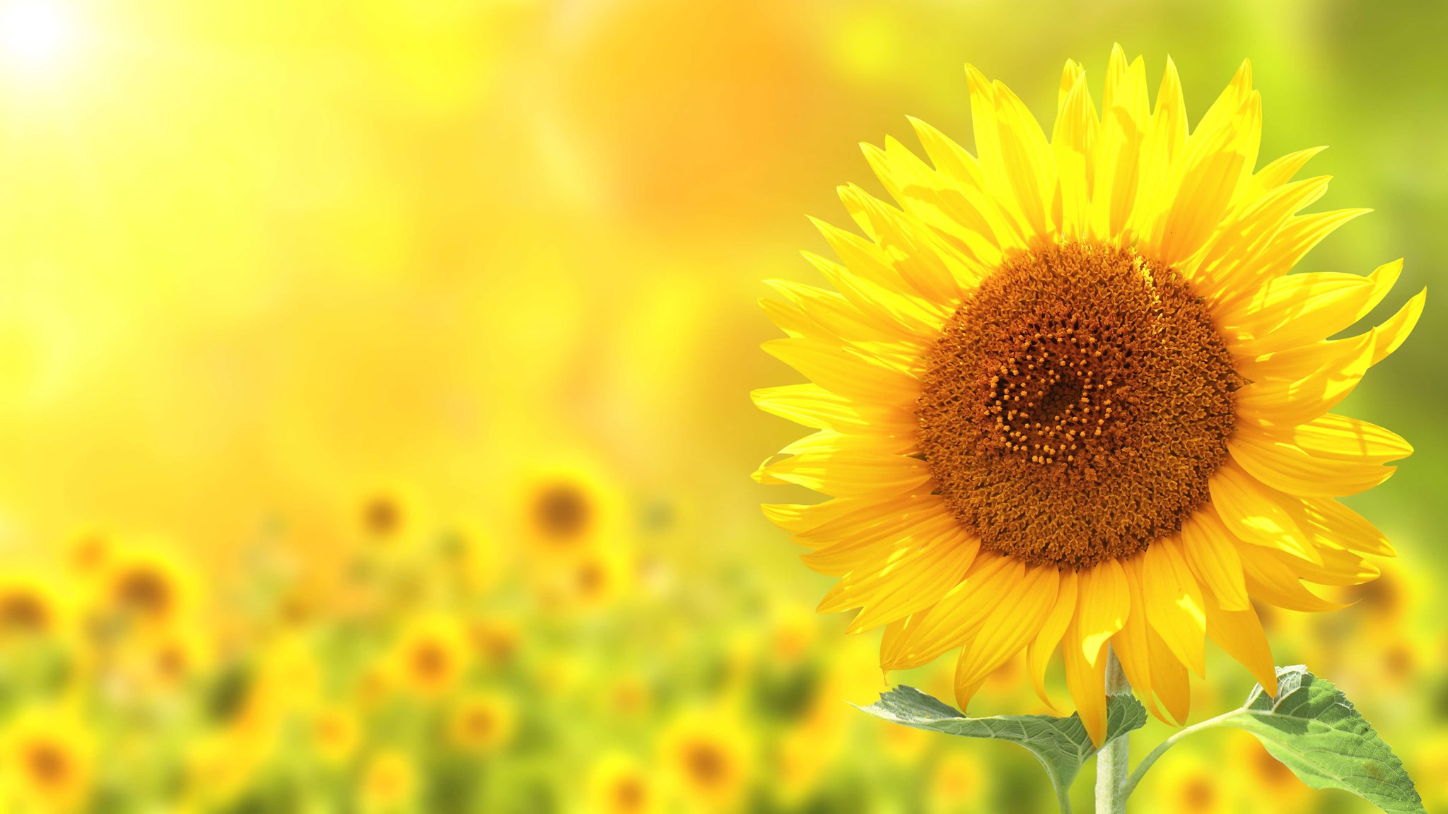 Palsgaard Can Deliver A Broad Range Of Non Palm Emulsifiers Made From Sunflower And Rapeseed Oil