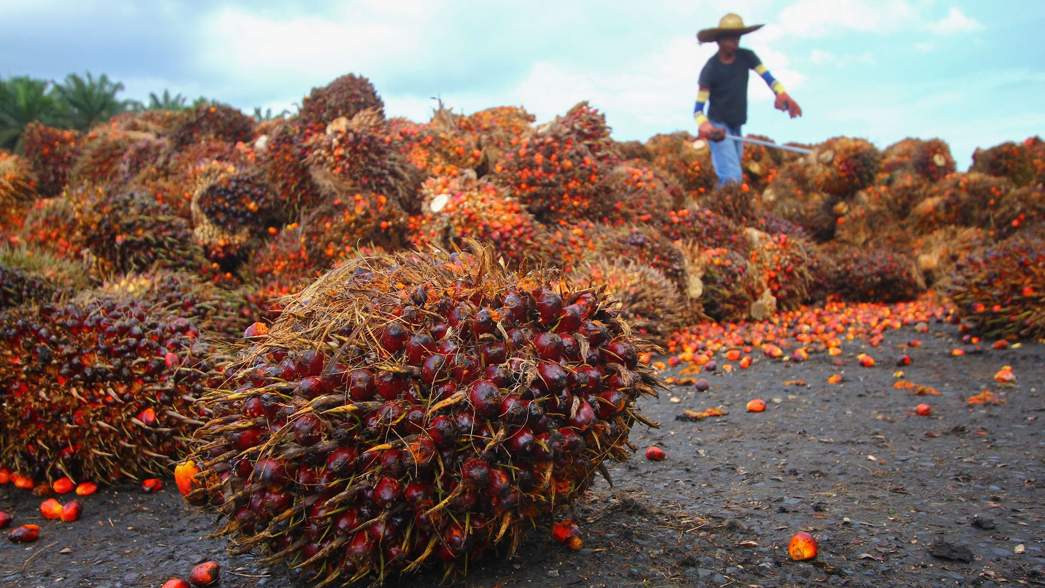 Palsgaards Responsible Sourcing Programme Enures Better Working Conditions For Palm Oil Plantation Workers